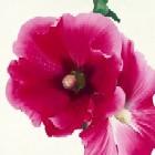 Pink Hollyhock I