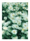 Field Of Marguerites
