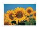 Sunflowers ll