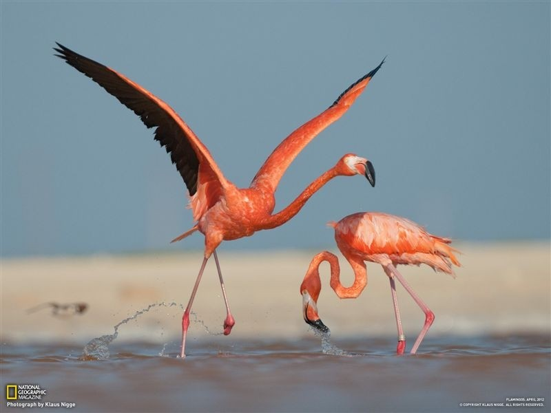 Couple Flamingo
