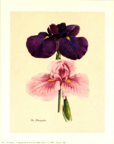 Iris Kaempferi