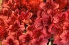 Crimson Clovers