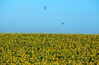 Hot Air Balloons Over Sunflower Field - Galilee
