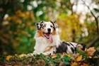 Dogs Australian