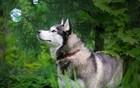 Husky Dog Tree