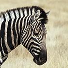 Zebra Head I
