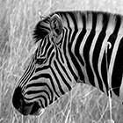 Zebra Head II