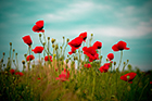 Red Sky Poppie
