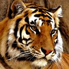 Tiger Face II