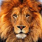 Lion Face I