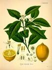 Gitrus Limonum Risso