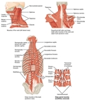 Muscles of the Neck and Back