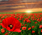 Nature of Poppy Flowers