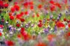 Judean Desert in bloom