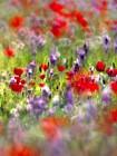 Judean Desert in bloom 1