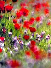 Judean Desert in bloom 2