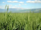 Wheat In The Hulah Valley