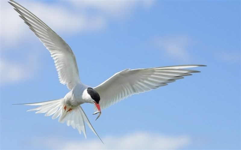 Islands Tern Birds