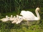 Swan With Nine Cygnets