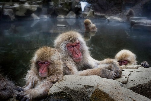 Sleeping Snow Monkeys