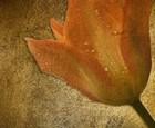 Texture Tulip 1