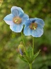 Blue Poppy Meconopsis sp Flowers