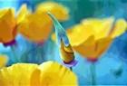 Poppy Photograph