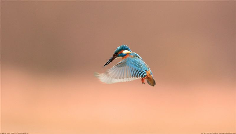 kingfisher Floating
