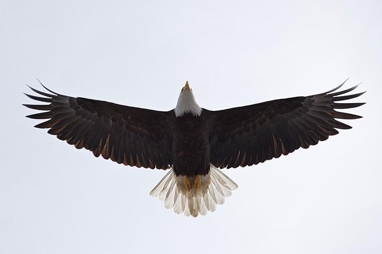 Bald Eagle Flying Over