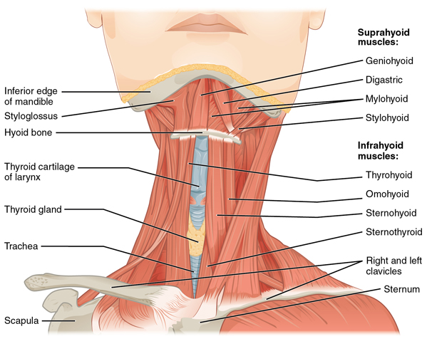 Muscle Of The Anterior Neck