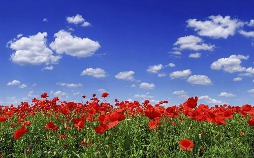 Flower Field Under Blue Sky
