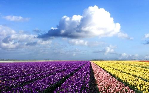 Flowerfield Under a Blue Sky in Hokkaido