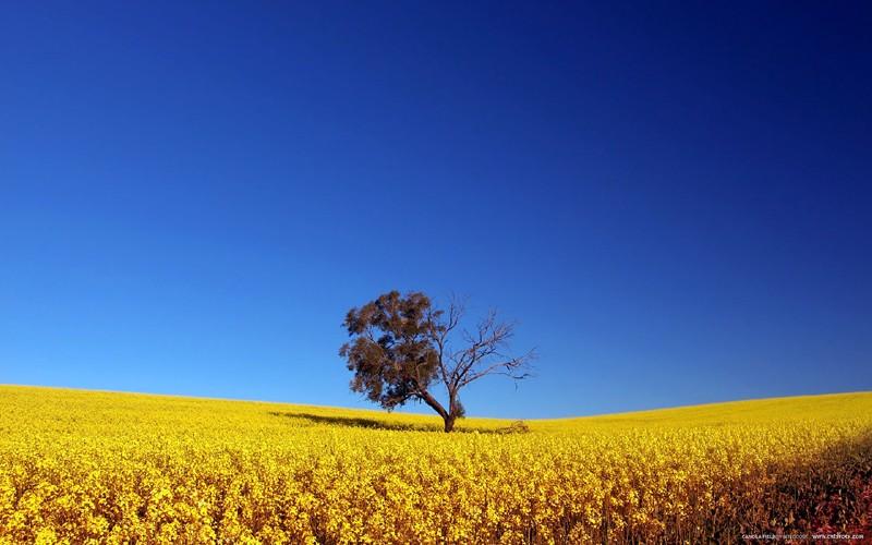 Single tree in the golden yellow field