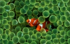 Fish In Anemone